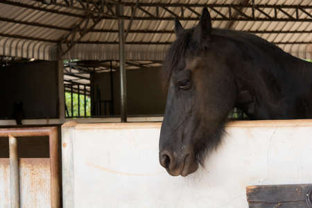 Head portrait of black horse in stable