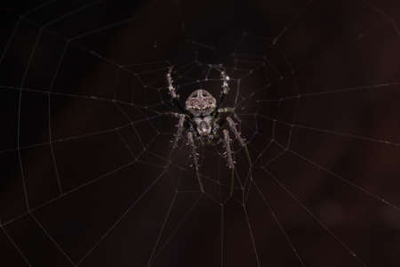 Close up macro shot spider (garden orb weaving spider) climbs on the web.