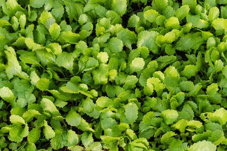 Seedlings mustard greens grow at vegetable garden Stock fotó