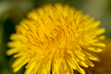 a dandelion in springtime macro picture taken Stock Photo