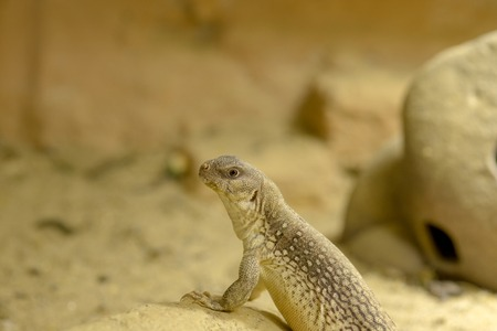 a desert iguana on the rock is looking