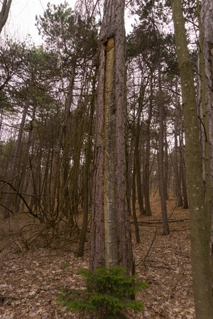 an old pitch tree in the woods at