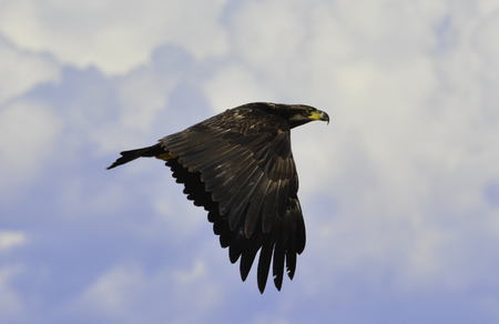 an eagle is fliying up to the sky