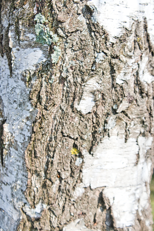 the surface from a birch bark in summer