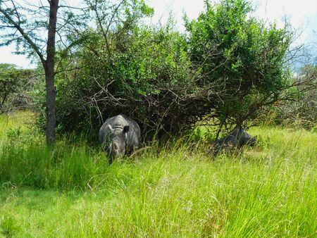 a rhino in the grass in africa