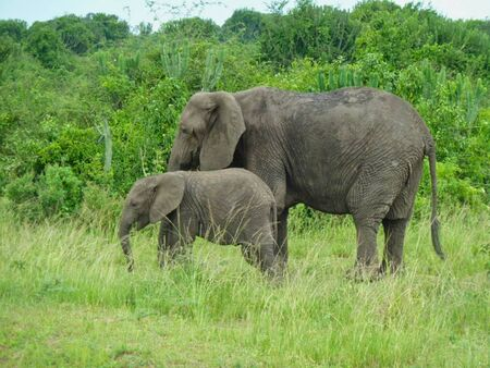elephants in the grassland in africa at summer