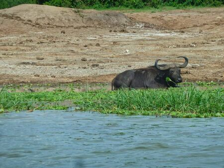a bison in a pond in africa