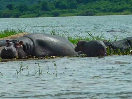 hippos in a pond on the surface