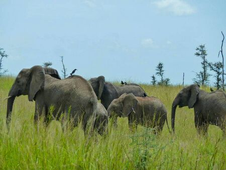 elephants in the grassland in africa