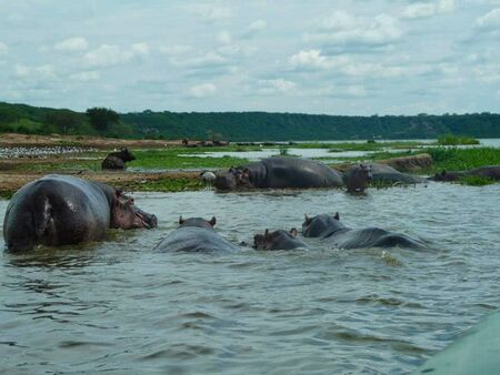 hippos in a pond in africa