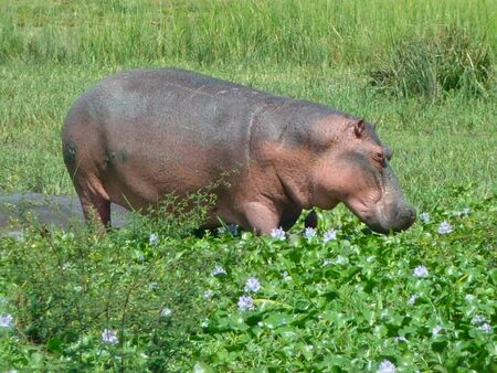 a hippo in a pond