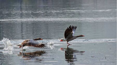 ducks flying on the water 스톡 콘텐츠
