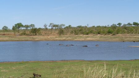 hippos swimming in the river in africa