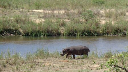 a hippo beside the river Stock Photo