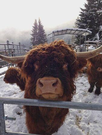 a bull behind the steel in wintertime Banco de Imagens