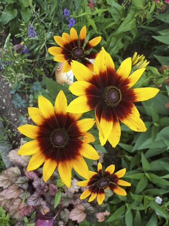 sunflowers in the garden in summertime