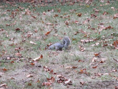 a squirrel is looking for food in the ground