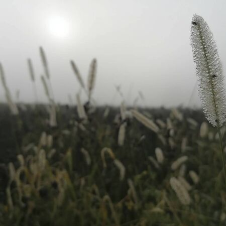 big grasses on a field in the morning