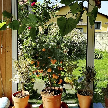 an orange tree in the garden at summer Reklamní fotografie