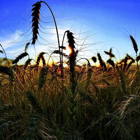 a wheat field in the summertime