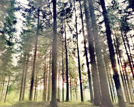sunflares in the forest at summertime