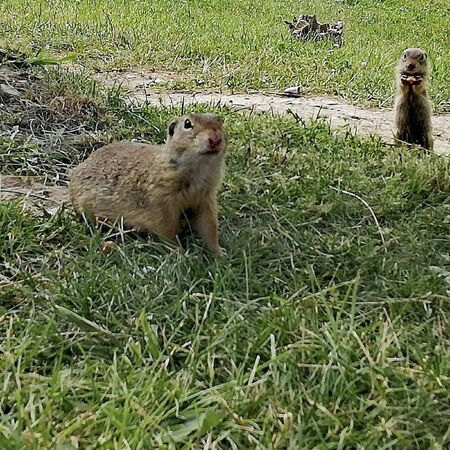 a meerkat on the surface in summer Reklamní fotografie