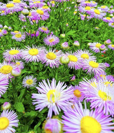 daisy flowers on a field in summer