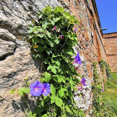 purple flowers on a wall at summer