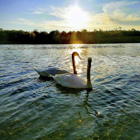 two swans on a pond at sunset Reklamní fotografie