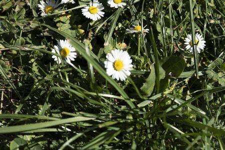 a daisy flower in the garden