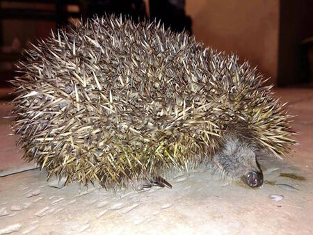 a hedgehog in the night