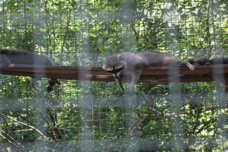 a racoon is hanging on a trunk in the zoo
