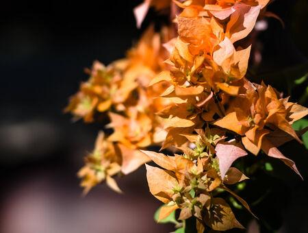bougainvillea flowers: Beautiful bougainvillea flowers in summer.