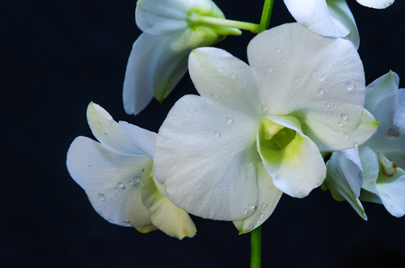 blooming: The beauty of the White orchids blooming