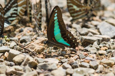 green butterfly: Flocks of butterflies live in the forest, soft focus image.