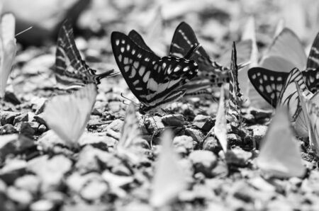 flocks: Flocks of butterflies live in the forest, soft focus image.