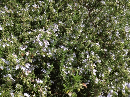 Organic rosemary in full bloom. Stock fotó