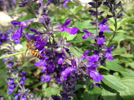 Bee pollinating purple Sage. Фото со стока