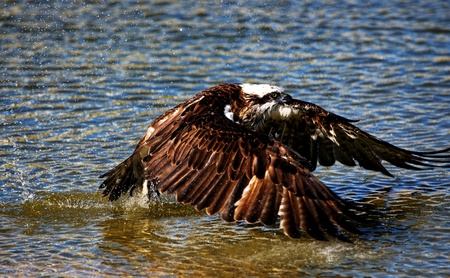 Osprey hunting in the ocean for fish