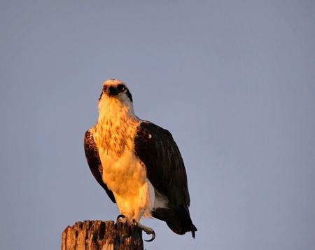 Osprey on a pole with the rising sun