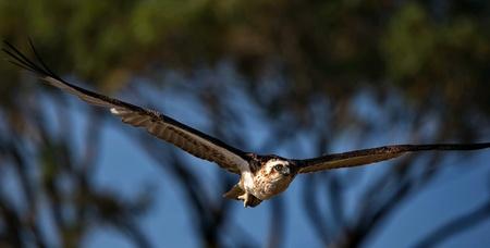Osprey flying over heading to its nest Stock Photo