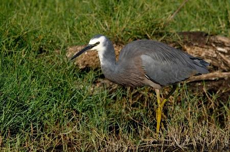 gray herons: White faced heron wading along the river bank