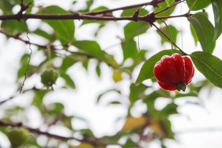 Pitanga (Eugenia uniflora), Suriname cherry, Brazilian cherry, Cayenne cherry. Significant taste and rich in calcium.