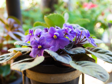 African violets (Saintpaulia), closeup of this beautifully colored