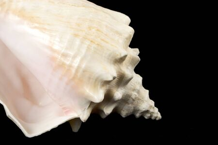 conical: Conical Sea Shell, Close Up