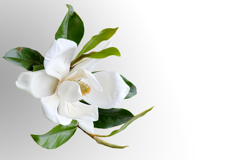 White Magnolia flower with green leaves.