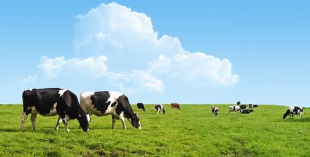 Koeien grazen op een boerderij.