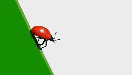 escarabajo: escarabajo de insectos.