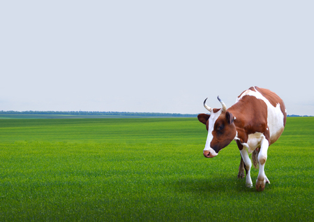 Cows grazing on a green field. Imagens