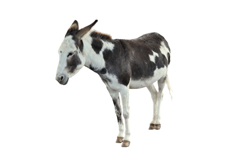 beast ranch: Donkey isolated on the white background.